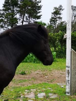 Natur, islandsk hest, en god snak